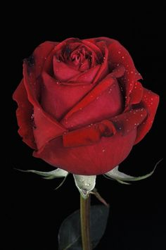 Red Rose @~>--- Love you.