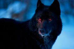 Black Wolf with Red Eyes Demon Wolf With Red Eyes, Wolf Eyes, Wolf Love, Wolf Spirit, Spirit Animal, Beautiful Wolves, Animals Beautiful, Wolf Hybrid, Alpha Wolf