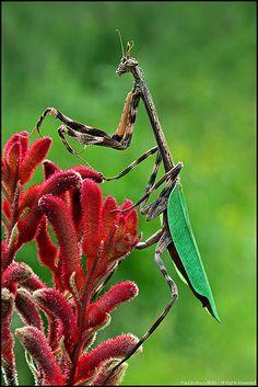 Unicorn #Mantid #mantis #insect