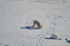 An isolated white dog on snow and ice during winter.
