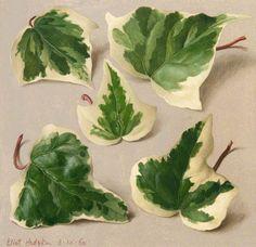 """Five Variegated Ivy Leaves"" by Eliot Hodgkin, 1960"