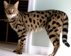 ~ a cat to be a savannah!!! Very expensive though! Savannah Cat ~ Bengal kitties  You Can Do It 2. http://www.zazzle.com/posters?rf=238594074174686702