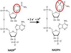 Formas oxidada y reducida de los piridín nucleótidos