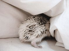 "Hedgehog: ""Trying to Hide..."""