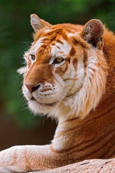 Golden tabby tiger - the result of a combination of recessive genes. There are possibly fewer than 30 golden tabby animals Mundo Animal, My Animal, Beautiful Cats, Animals Beautiful, Cute Baby Animals, Animals And Pets, Wild Animals, Big Cats, Cats And Kittens