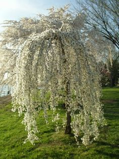 how to prune a weeping-cherry-tree  Do this in late fall or early spring when there are no leaves or flowers