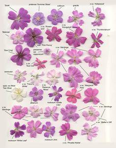 geraniums