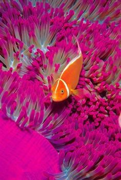 the-rouge-rose2u:    Colors Under the Sea pink ocean nature sea fish sea life
