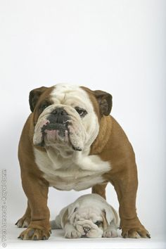 For the love of English Bulldogs.