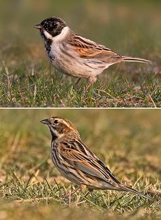 Reed Buntings by Andreas Trepte