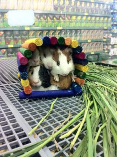 On slow days in the pet store the guinea pigs would build a fort....