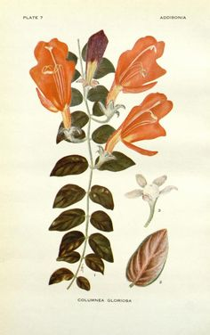 Addisonia : colored illustrations and popular descriptions of plants New York :New York Botanical Vintage Botanical Prints, Botanical Drawings, Botanical Art, Botanical Gardens, Antique Prints, Vintage Art, Found Art, Plant Illustration, Nature Images