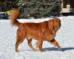 Golden Retriever Walking