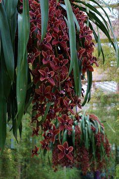 Cymbidium Edith McDade 'New Horizon' (3) | Flickr - Photo Sharing!