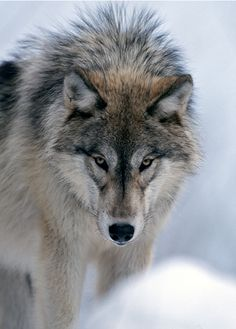 ... Wolf Time, Wolf Book, Wolf Eyes, African Wild Dog, Wolf Photos, Dog Life, Animals And Pets, Baby Animals, Wild Animals