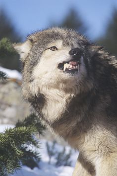 grey wolf snarling | ... | Wildlife | Snarling Gray or Timber Wolf(Canis Lupus), Captive