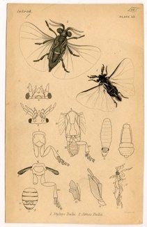"""insects pl.33 english 1839 hand coloured engraving 4 x 6"""" $10"""