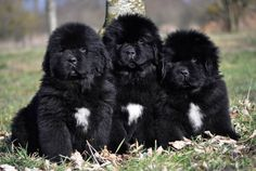 Cachorros de terranova de dos meses