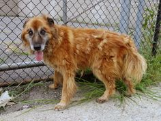 TO BE DESTROYED -8/2/14 Brooklyn Center -P SIMBA. #A1008393. Neutered male brown collie smooth/germ shep mix. About 12 YRS old. STRAY on 07/28/2014***NEGLECTED SENIOR ALERT!!! Poor Simba doesn't appear to have had an easy life! We will never know for sure what it was like, but his body tells of long term neglect & poor care! A green behavior rating makes Simba relaxed, easy to handle, and who showed no concerning behavior during the exam. PLEASE HELP THIS SR. FING HIS FINAL REST STOP!!!