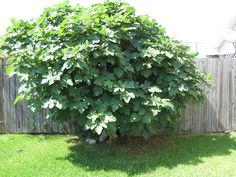 The Celeste Fig tree makes it super simple to grow your own figs. This Fig tree may be smaller than other varieties, but it still packs a production punch. Fig Fruit Tree, Fig Tree, Fig Bush, Green Fig, Plant Guide, Fruit Plants, Garden Trees, Landscaping Plants, Ficus
