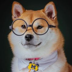 Shiba Inu being smart. And adorable!