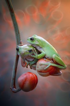 ~~duo froggy   hey, get out of here, this is my place!   by Harfian Herdi A Rais~~