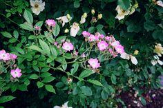 Another beautiful shrub rose!