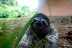 and being one with nature. | Meet Lunita, The Cutest Baby Sloth On Planet Earth