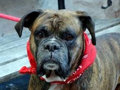ROCKY is an adoptable Boxer Dog in New York, NY. A volunteer writes: Rocky is a hansome brindle Boxer who is with us as his lifelong owner could not care for a pet anymore. He comes with excellent rec...