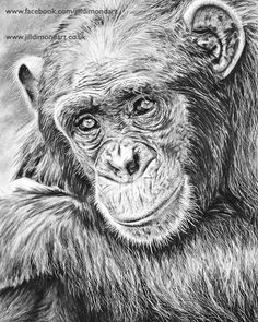"""A detailed and realistic drawing of a chimpanzee, using graphite and carbon pencils. 12""""x18"""" Graphite and Carbon pencils Strathmore vellum Bristol Board The original is available. Please contact us for details. Prints of this chimp will be available in the shop soon. Reference photography: Scotch Macaskill via African Reference Photos."""