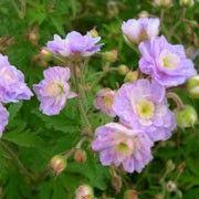 Risultati immagini per geranium summer skies height