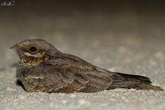 Noitibó-de-nuca-vermelha, Red-necked Nightjar (Caprimulgus ruficollis) - em Liberdade [in Wild]