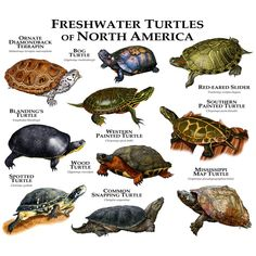 Freshwater Turtles Of North America Duvet Cover by Wildlife Art By Roger Hall - Twin XL: x Map Turtle, Wood Turtle, Turtle Pond, Tiny Turtle, Chelydra Serpentina, Common Snapping Turtle, Spotted Turtle, Freshwater Turtles, Turtle Care