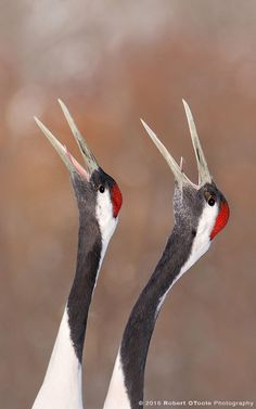 japanese-red-crowned-crane-pair-calling-Robert-OToole-Photography