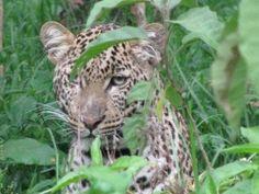 Shy leopard in Kenya