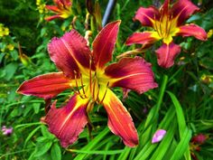 Lilies: How to Plant, Grow, and Care for Lily Flowers. In active growth, water freely and keep mulched. Apply a high-potassium liquid fertilizer every 2 weeks from early spring until 6 weeks after flowering. Keep moist in winter. Leave the foliage until it turns brown in the fall. This is important so that the plant stores energy for next year's flowering. Cut down the dead stalks in the late fall or early spring.