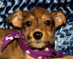 Tucker is an adoptable Terrier Dog in Erwin, TN. Tucker is an adorable little Terrier mix puppy. He has recently been neutered. Come by the shelter and see what a loveable little guy he is. Shelter ph...