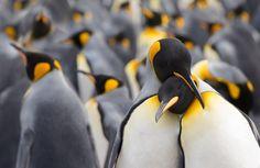 king penguin's love