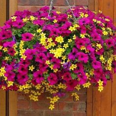 Biddens and petunias are one of our favorite combinations for hanging baskets! Biddens and petunias are one of our favorite combinations for hanging baskets! Plants For Hanging Baskets, Hanging Flowers, Diy Hanging, Petunia Hanging Baskets, Indoor Flowers, Summer Flowers, Beautiful Flowers, Yellow Flowers, Flowers For Full Sun