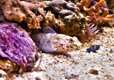 Gobio en mi acuario mediterráneo