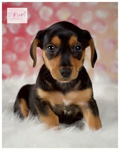 Dixie Mae was adopted! #rescue #adoptdontbuy #puppy #puppylove #puppyeyes #puppies #pup #pups #woof #bark #dixiemae