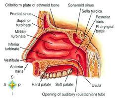 BaileyBio.com: Anatomy & Physiology » 11.Powerpoint - Respiratory System » nose_2.jpg