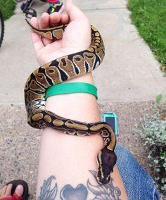 Sweet Pea, normal ball python