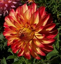 Lady Darlene - Very pretty two color red and yellow flower with great form.