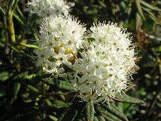 "A member of the same plant family as rhodos, azaleas and other ""acid lovers"", Labrador tea is a pretty shrub that will be welcome in many home landscapes Rhododendron, Flowering Trees, Flowers, Trees To Plant, Flowering Bushes, Growing Flowers, Tiny White Flowers, Bonsai Plants, Plants"