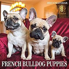 Amazon.com : FRENCH BULLDOG CALENDAR - PUPPIES - 2017 MONTHLY WALL CALENDAR -LARGE- OPENS TO 14X23.5 INCHES TALL : Office Products