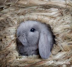 Shadow (Minilop Rabbit) - Shadow hops out now and then from inside his basket den  (pic by Rachael Hale)