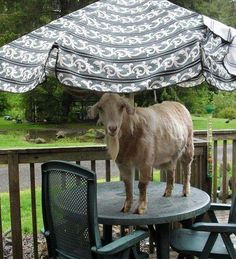 #goatvet likes this photo of a goat  trying to get a better look inside the house.