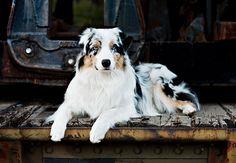 Stunning Aussie! ♡♥♡ Pet Photography | Dog | Fun photo session Ideas | Props | Portraits | Puppy | Australian Shepherd
