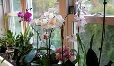 """Whenever I mention my orchids — even to plant-lovers like me — they almost always say, """"oh, I can't grow orchids. Orchids are just plants, . Orchids Garden, Orchid Plants, All Plants, Garden Plants, Indoor Plants, Inside Garden, Growing Orchids, Orchid Care, Houseplants"""